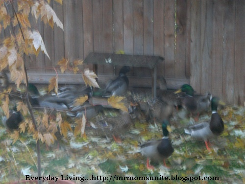 photo of ducks feeding from our yard