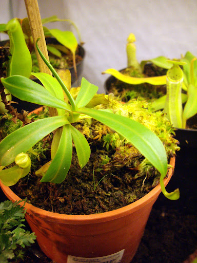 photos de mes orchidées en fleur - Page 2 IMGP4852