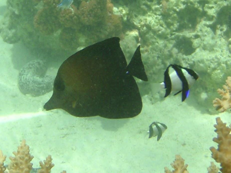 Zebrasoma scopas (Scopas Tang), Aitutaki.