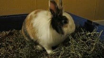 Gaufrette, lapine tricolore-[adoptée] Gaufrette5-0bc82