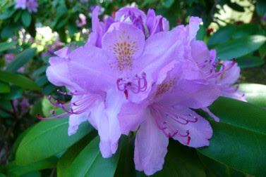 Rododendron 'Catawbiense Grandiflorum' Rhododendron