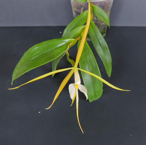 Epidendrum nocturnum DSCN1752