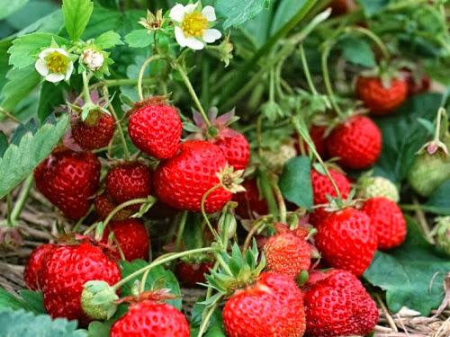 dau tay moc chau+%25283%2529 Dâu tây Mộc Châu sản vật mới của xứ sở những trái ngon