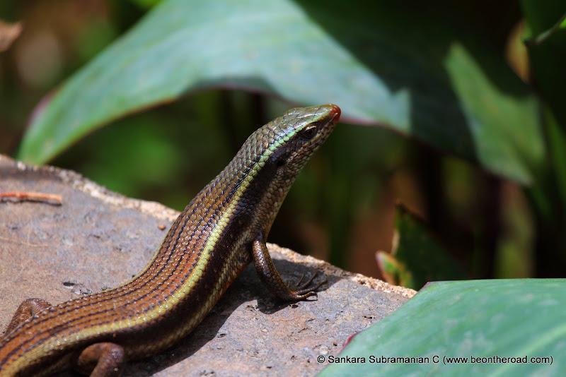 Bronze Grass Skink (Aranai Lizard) at Valparai, Tamil Nadu - 1