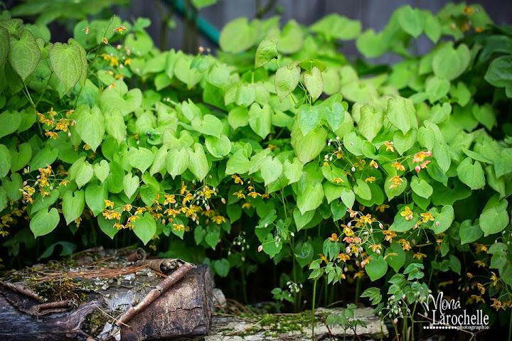 Epimedium pubigerum Orangekonegin Epimedium-orangekonegin-140525-179rm
