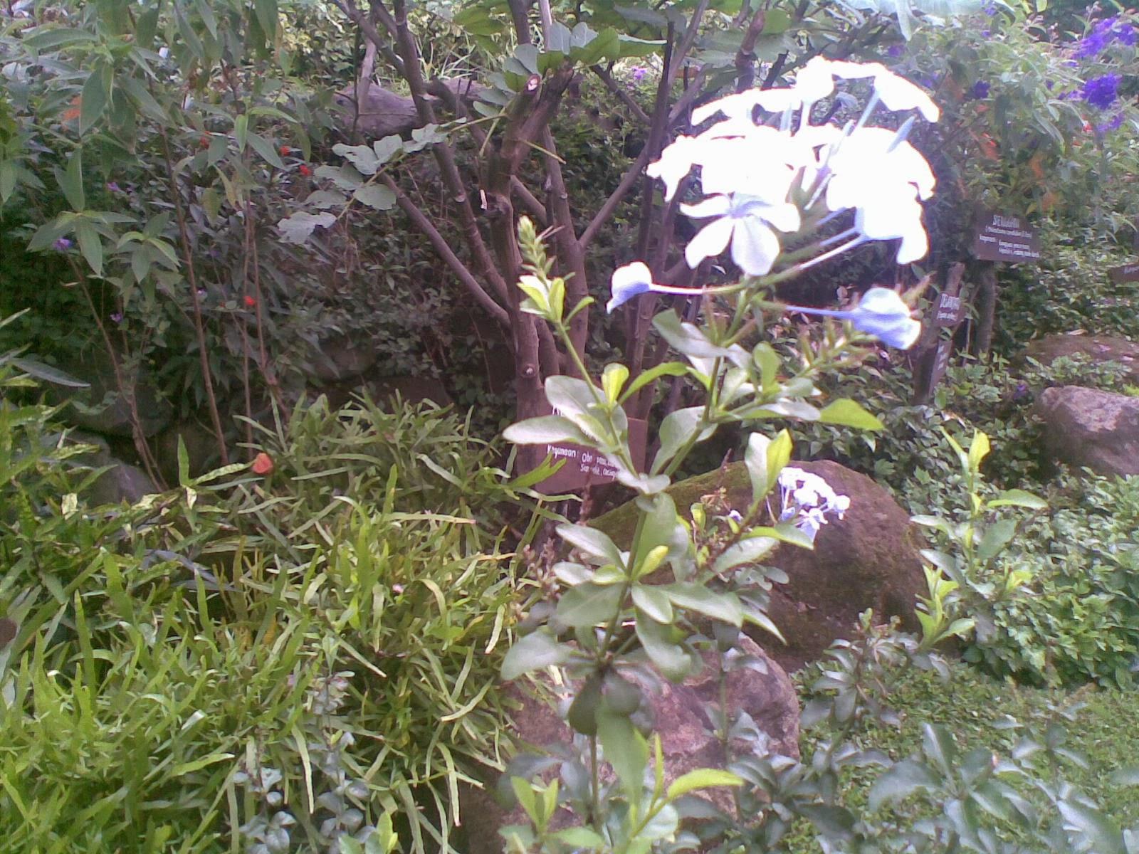 The blossoming flower of Plumbago zeylanica Linn.