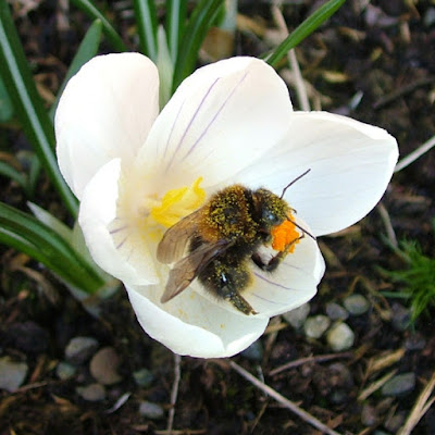 Bee on a crocus