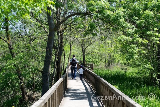 Sakarya, Karasu'daki Acarlar Longozu'ndaki dişbudak ağaçları arasında köprüden yürürken