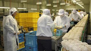 Video: Thực tập sinh làm công việc chế biến nấm tại Nhật Bản