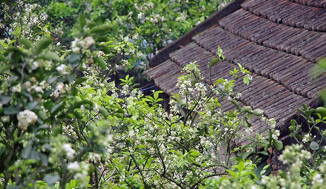 ảnh hoa bưởi nở đẹp bên cạnh ngôi nhà ngói