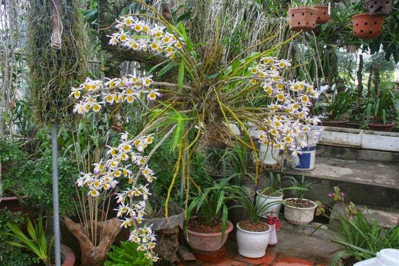 Hoàng thảo ngọc thạch mà trổ bông thì thật tuyệt