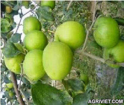 Agriviet.Com-i_t%25C3%25A1o_15_2.jpg