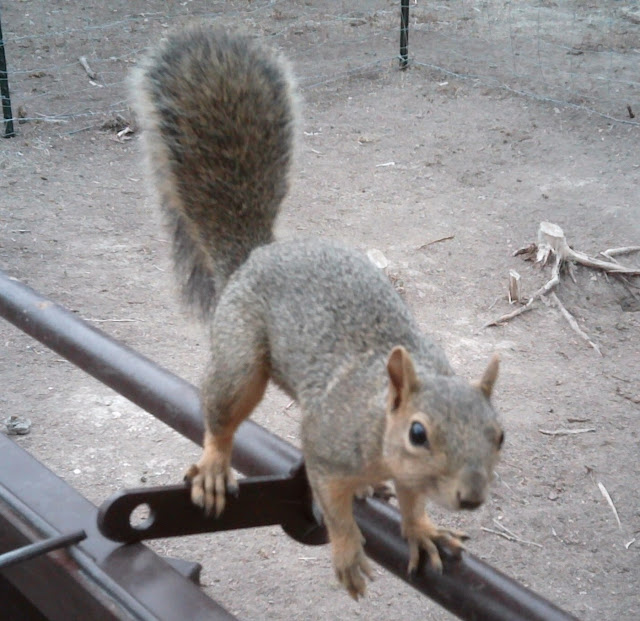 curious fox squirrel