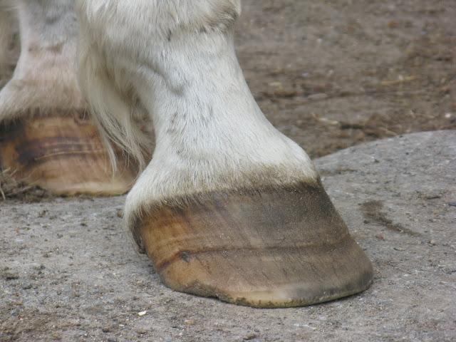 Besoin d'avis et conseils sur les pieds de mon cheval IMG_2116