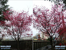 赤水北天宮廣場前山櫻花