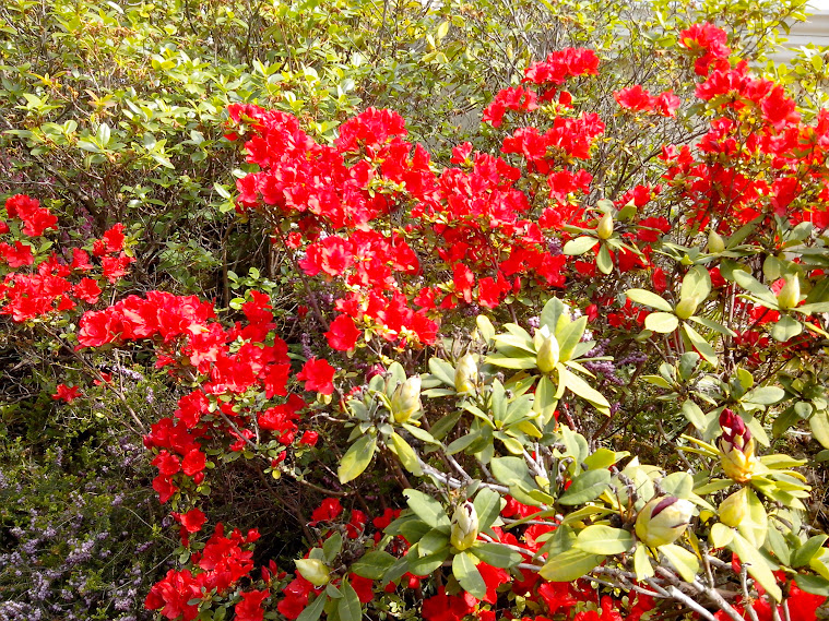 Rhododendrons et Azalées IMG_20140426_144901