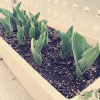 チューリップ栽培 成長日記