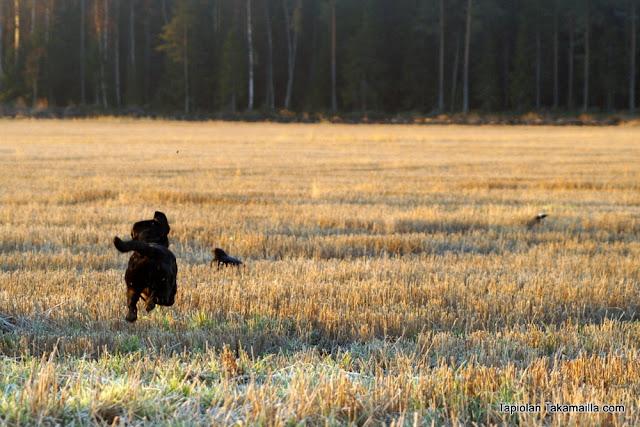 teerijahti metsäkanalintu labradorinnoutaja kuvapyynti houkuttelumetsästys