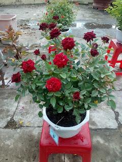 Chậu hoa hồng đỏ thẳm, chi chít hoa