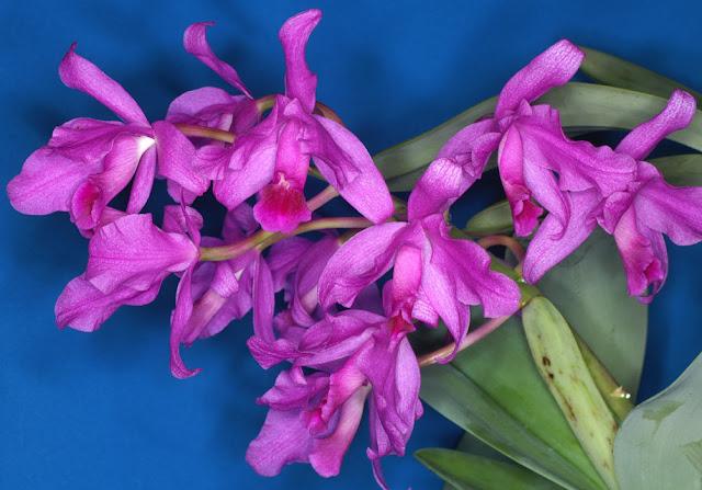 Растения из Тюмени. Краткий обзор - Страница 2 Cattleya-bowringiana