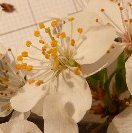 Śliwa wiśniowa, ałycza kwiat Prunus cerasifera, Cherry plum flower
