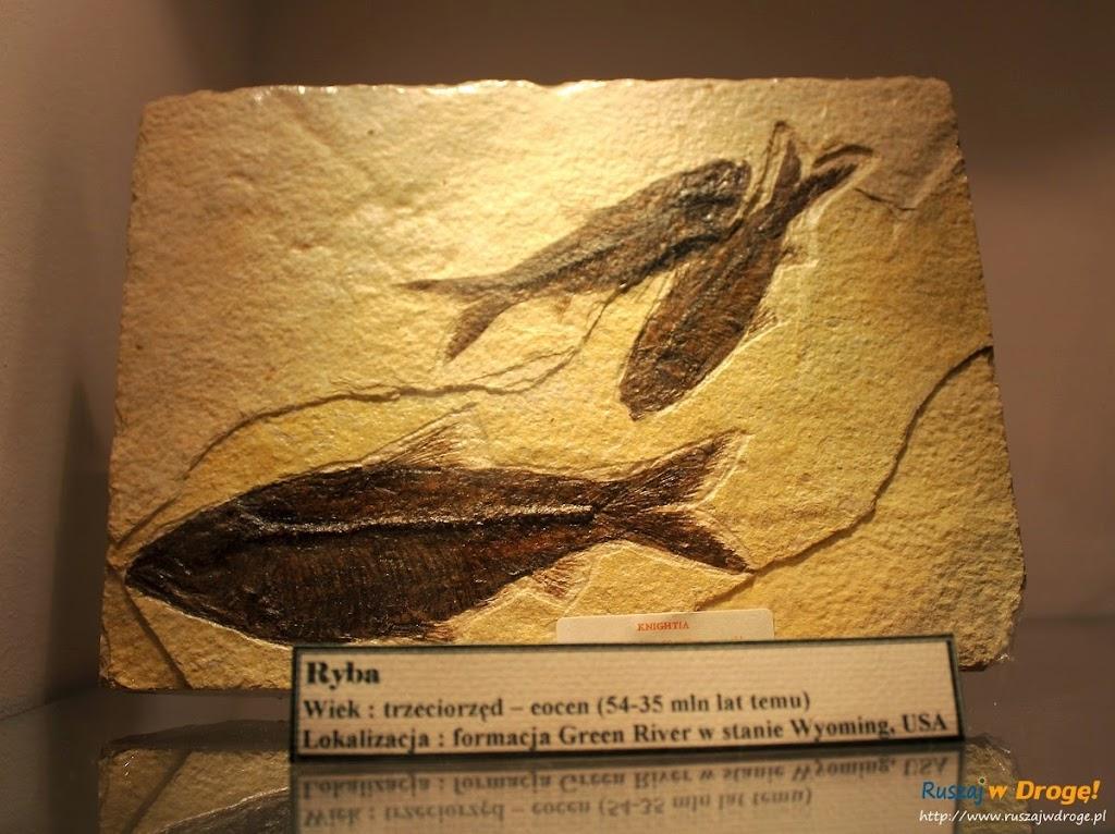 Muzeum Minerałów w Świętej Katarzynie - skamieniała ryba z trzeciorzędu