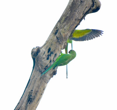 10-Sep-2011 Parakeets  Pic: Sujesh S.