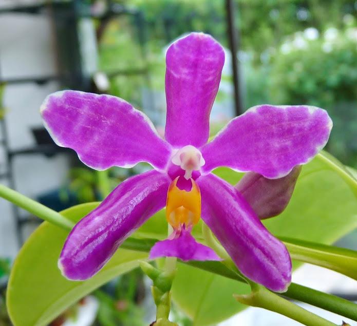 Phalaenopsis pulchra P1420793