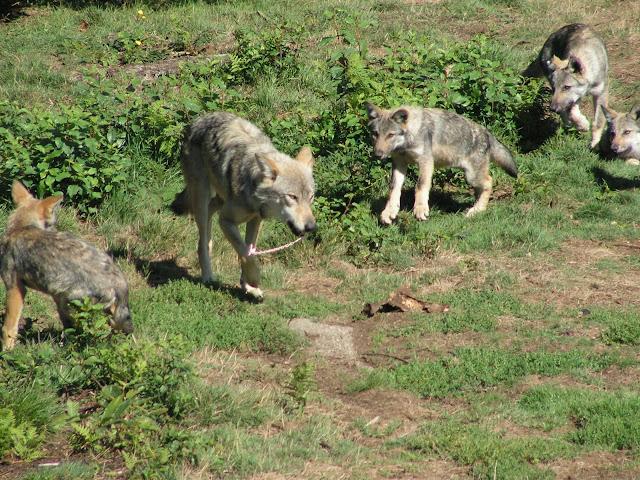 Les Loups de Chabrière PICT0484