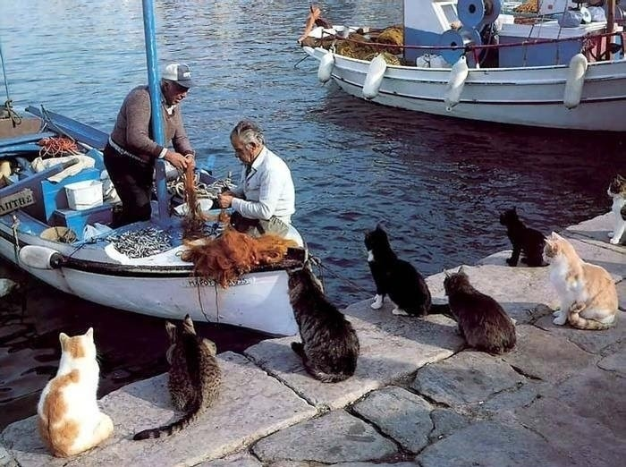 Cats Waiting Fisherman Catch