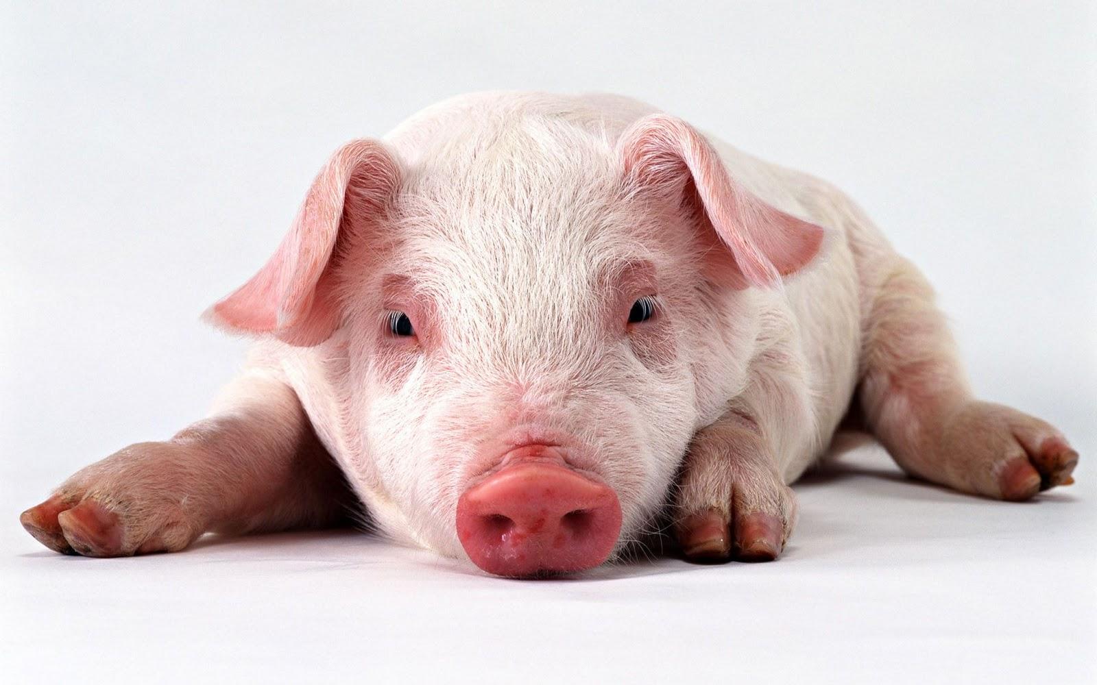 Granja Carboni está entre as 10 melhores do país no prêmio 'Melhores da Suinocultura Agriness' Pig 3 PO88AFYCBL