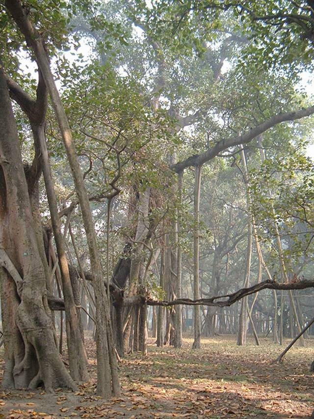 Great Indian Banyan Tree