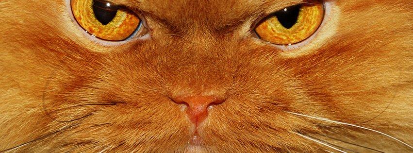 Çatık kaşlı kedi bakışı kapak fotoğrafları