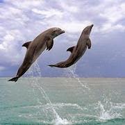 К чему снятся дельфины в море?