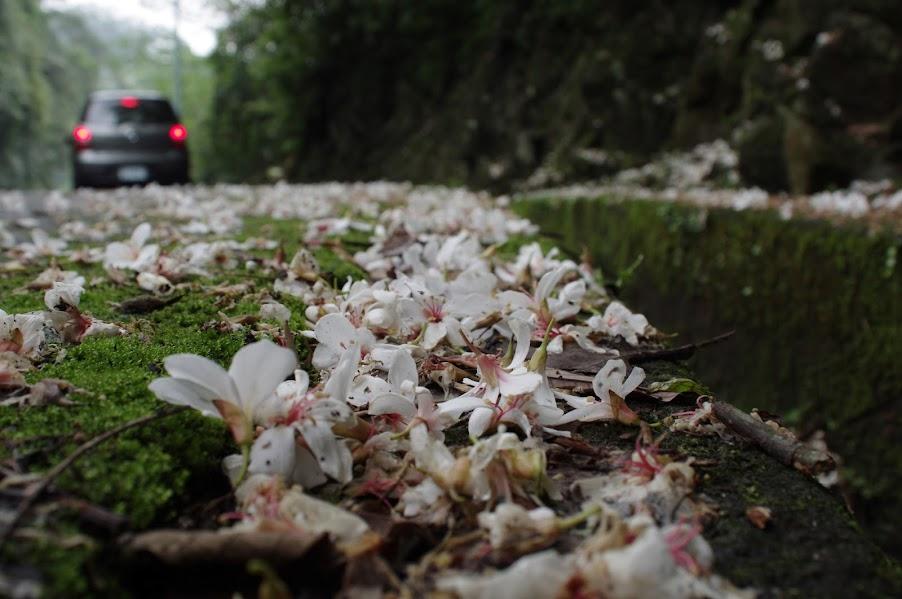 石門油桐花