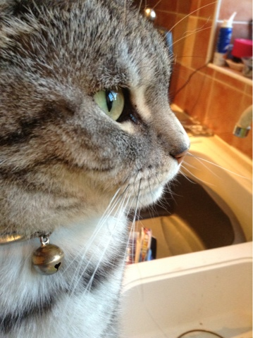 Silver Tabby cat looking out a window