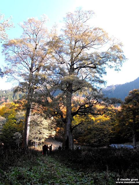 Ciucas: stana si arbori seculari