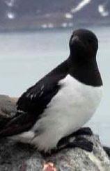 Un pingouin, un vrai...