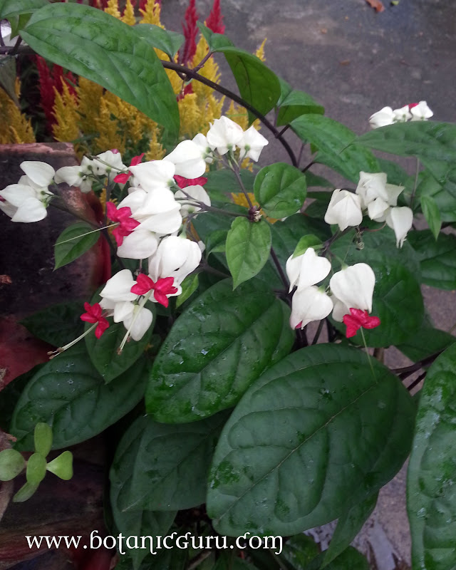 Clerodendrum thomsoniae, Bleeding Heart Vine