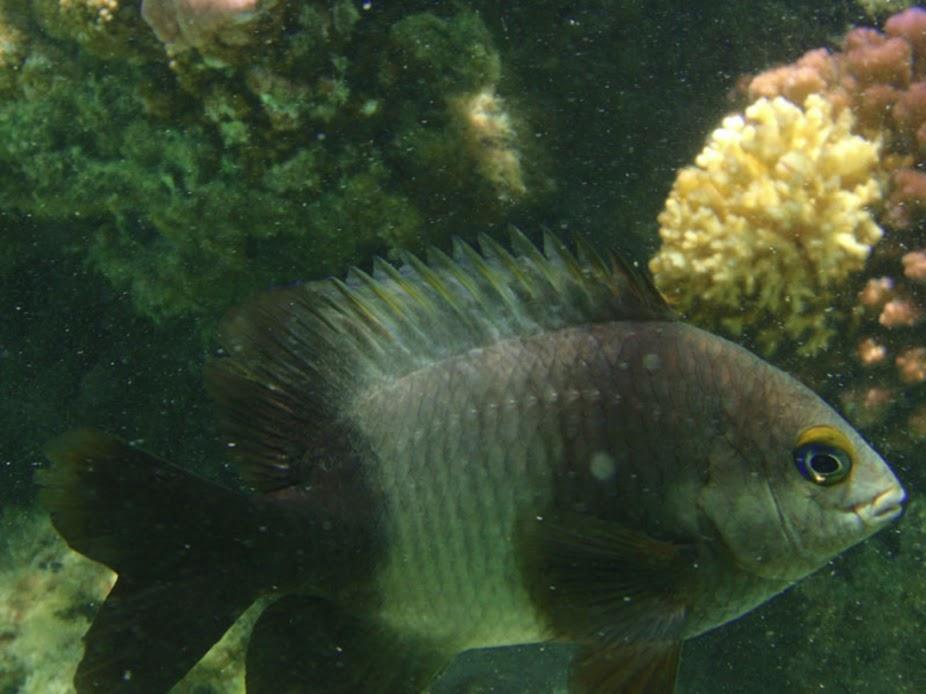 Stegastis nigricans (Dusky Gregory Damselfish), Aitutaki.