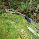 Water Gragon near Sams Creek (331451)
