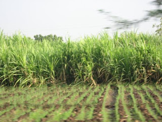 sugarcane is a major crop of Pakistan