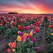 К чему снится букет тюльпанов?