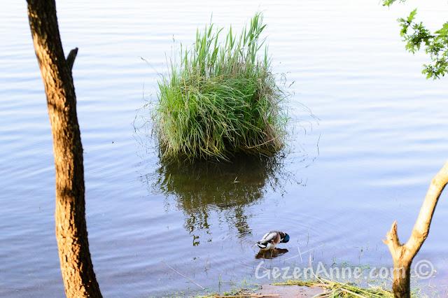 Sakarya Poyrazlar Gölü'nde ördek