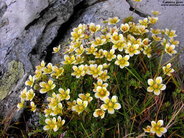 tot din familia floricelor de stâncă: Saxifraga Bryoides