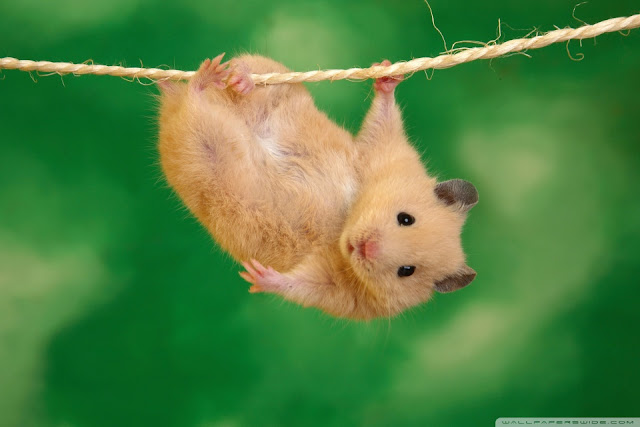 funny_hamster-wallpaper-960x640.jpg