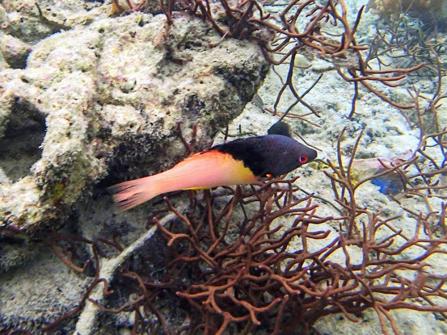 Bodianus mesothorax (Blackbelt Hogfish), Miniloc Island Resort reef, Palawan, Philippines.