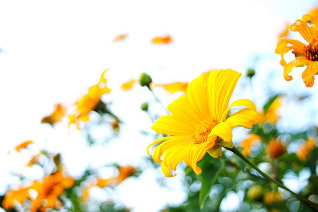 Ảnh hoa dã quỳ đẹp