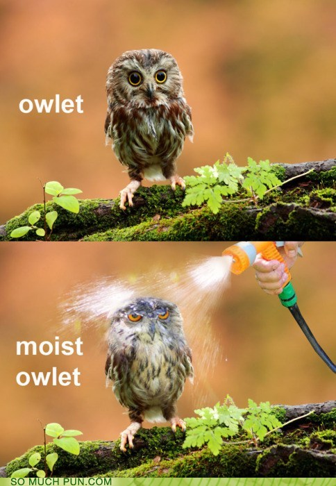 photo of a baby owl and then a wet baby owl: owlet...moist owlet