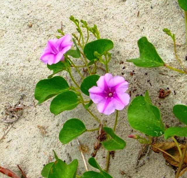 hoa muống biển mọc trên cát